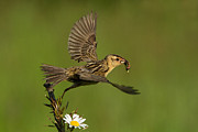 Feeding Birds Posters - Bobolink Poster by Mircea Costina Photography