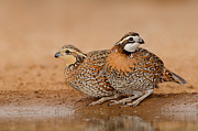 Hector D Astorga - Bobwhite Couple
