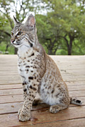Bobcat Framed Prints - Boca Framed Print by Carl Deal