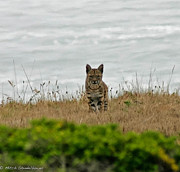 Bodega Bay Bobcat Print by Mitch Shindelbower