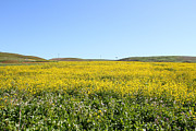 Back Road Prints - Bodega Bay . Yellow Field . 7D12403 Print by Wingsdomain Art and Photography
