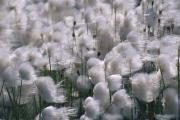 Strength In Numbers Posters - Bog Cotton Plants Blowing In The Wind Poster by Paul Nicklen