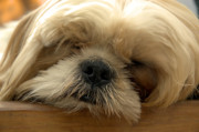 Sleeping Dogs Photos - Bogie Asleep by Kathi Shotwell