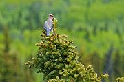Bohemian Photos - Bohemian Waxwing #2 by Ron Day