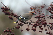 Bohemian Photos - Bohemian Waxwing by Chris Hill