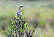 Bohemian Prints - Bohemian Waxwing Print by Ron Day