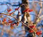 Bohemian Photos - Bohemian Waxwings Eating Berries 1 by Terry Elniski