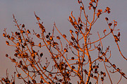 Bohemian Photos - Bohemian Waxwings by Terry Elniski