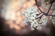 Photoshop Cs5 Posters - Bokeh Blossoms Poster by Dustin Abbott