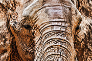 Pachyderm Framed Prints - Bold and Beautiful Framed Print by Janet Fikar