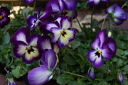 Cards Gallery - Bold Purple and White Pansies by Lynn-Marie Gildersleeve