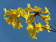 Blue Trumpet Flower Photos - Bold Yellow Flower Blue Sky by Jeff Lowe