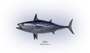 Gamefish Drawings Framed Prints - Bonito  Framed Print by Ralph Martens