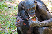 Caring Mother Prints - Bonobo 3 Print by Kenneth Albin