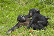 Apes Framed Prints - Bonobo Apes Mating Framed Print by Tony Camacho