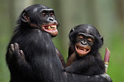 Embracing Prints - Bonobo Mature Male And Juvenile Male Portrait Print by Anup Shah
