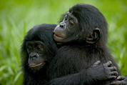 Emoting Framed Prints - Bonobo Orphans Hugging Framed Print by Cyril Ruoso