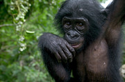Featured Art - Bonobo Pan Paniscus Juvenile Orphan by Cyril Ruoso