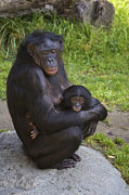 Emoting Framed Prints - Bonobo Pan Paniscus Mother Cradling Framed Print by San Diego Zoo