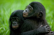 Embracing Posters - Bonobo Pan Paniscus Pair Of Orphans Poster by Cyril Ruoso