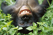 Ape Metal Prints - Bonobo Pan Paniscus Smiling Metal Print by Cyril Ruoso