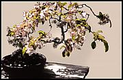 Bonsai Framed Prints - Bonsai Beauty Framed Print by Linda  Parker