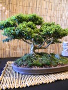 Bamboo Mat Posters - Bonsai Beauty Poster by Warren Thompson