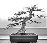 Bonsai Framed Prints - Bonsai Tree Framed Print by Brian Mollenkopf