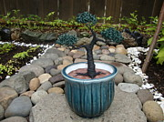Plant Sculpture Metal Prints - Bonsai Tree Medium Round Blue Ceramic Planter   Metal Print by Scott Faucett