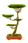 Bonsai Tree Framed Prints - Bonsai Tree Framed Print by Michael Vigliotti