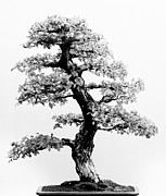 Bonsai Framed Prints - Bonsai Tree Framed Print by Sebastian Musial