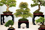 Chinese Art Photo Acrylic Prints - Bonsai Trees Acrylic Print by Cordelia Molloy
