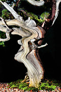 Twist And Turn Framed Prints - Bonsai16 Framed Print by KH Lee