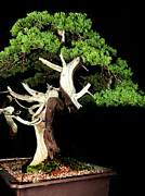 Twist And Turn Framed Prints - Bonsai17 Framed Print by KH Lee