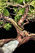 Twist And Turn Framed Prints - Bonsai25 Framed Print by KH Lee