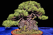 Twist And Turn Framed Prints - Bonsai3 Framed Print by K H Lee