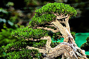 Twist And Turn Framed Prints - Bonsai30 Framed Print by KH Lee