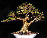 Twist And Turn Framed Prints - Bonsai6 Framed Print by KH Lee