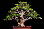 Twist And Turn Framed Prints - Bonsai9 Framed Print by KH Lee