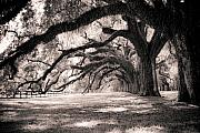 Shadows Photo Prints - Boone Hall Plantation Live Oaks Print by Dustin K Ryan