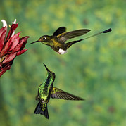 Racket Framed Prints - Booted Racket-tail Ocreatus Underwoodii Framed Print by Tom Vezo
