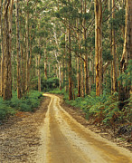 Gravel Road Prints - Boranup Drive Through Karri Forest, Eucalyptus Diversicolor, In Leeuwin-naturaliste National Park Near Karridale, Western Australia Print by Peter Walton Photography