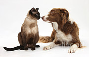 Collie Posters - Border Collie & Siamese Cat Poster by Mark Taylor