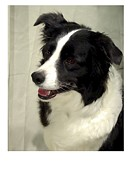 Collie Digital Art Posters - Border Collie 1180 Poster by Larry Matthews