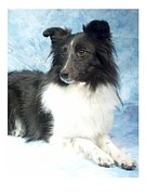 Collie Digital Art Posters - Border Collie 574 Poster by Larry Matthews