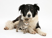 Collie Posters - Border Collie And Kitten Poster by Mark Taylor