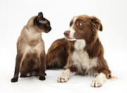 Kitty Cat Prints - Border Collie And Siamese-cross Print by Mark Taylor
