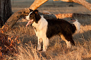 Dog Art Framed Prints - Border Collie at Sunset Framed Print by Michelle Wrighton