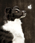 Collie Framed Prints - Border Collie Dog Watching Butterfly Framed Print by Ethiriel  Photography
