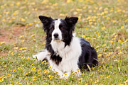 Michelle Wrighton Posters - Border Collie in Field of Yellow Flowers Poster by Michelle Wrighton